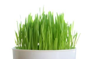 Wheatgrass_1401735968